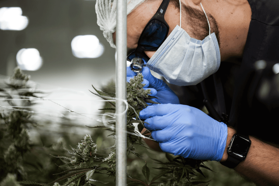 Cannabinoids and Terpenes are analyzed in cannabis testing labs